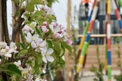 Erste Apfelblüte am Spalier