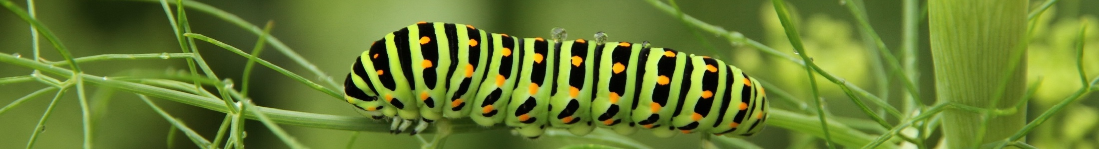 Schmetterlingsraupe (Foto: Markus Breier)
