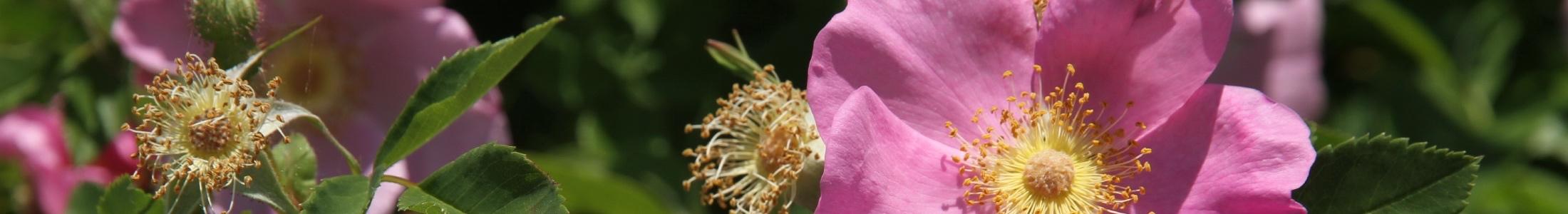 Wildrose (Foto: Markus Breier)